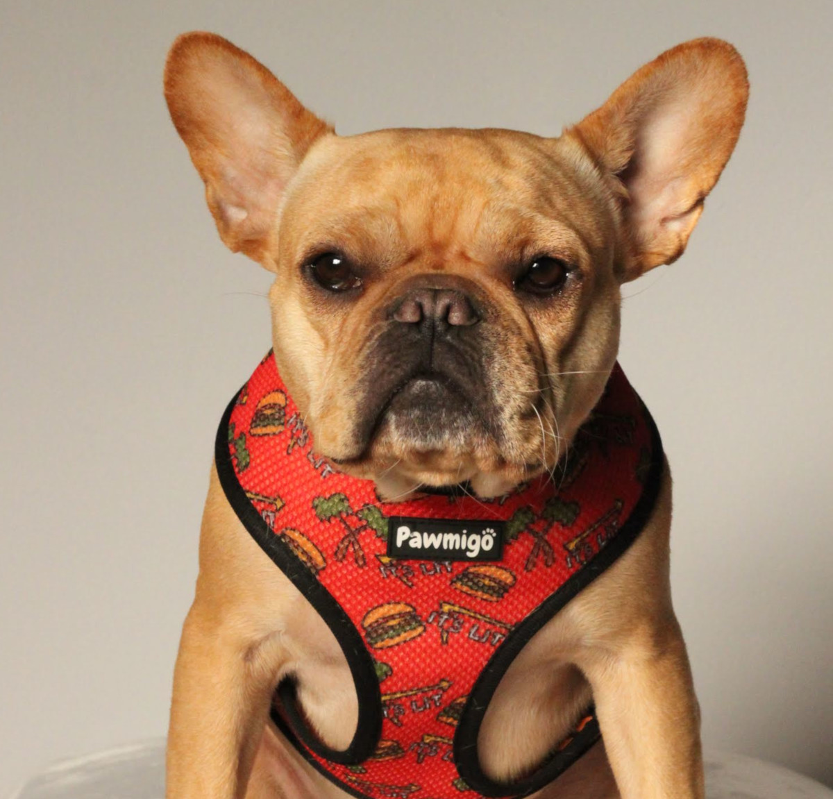 Best Harnesses For French Bulldogs Frenchiecute